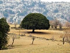 Perfect shape. (Ia Löfquist) Tags: crete kreta hike hiking vandra vandring walk walking wander autumn höst tree träd