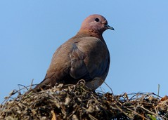 Laughing Dove - Bharatpur Bird Sanctuary (forest - Thanks - 8.5 M+ views ...) Tags: bird beautiful dolly dove sky tree picture planet photo plants flickr fiend friend fantastic fabulous forest