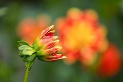 Dahlias (mclcbooks) Tags: flower flowers floral macro closeup bokeh dahlia dahlias denverbotanicgardens colorado