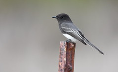 Black Phoebe (Christopher Lindsey) Tags: blackphoebe birds birding california sanjacinto wildlifearea riversidecounty