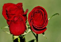 Jardim (Zéza Lemos) Tags: rosas rose rosa roseiras jardim jardins flores flowers flor portugal algarve vilamoura água gotas drops drop