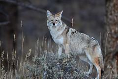 Coyote - He posed so nicely on that rock - 4169b+ (Teagden (Jen Hall)) Tags: coyote rock canine jenniferhall jenhall jenhallphotography jenhallwildlifephotography wildlifephotography wildlife nature naturephotography photography wild nikon wyoming wyomingwildlife