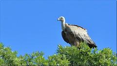 grifone sardo (Tonpiga) Tags: tonpiga uccelliinlibertà faunaselvatica avvoltoio grifonesardo gipsfulvus