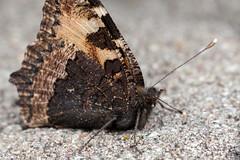 First Day of Spring, Pt. 2 - _TNY_1400 (Calle Söderberg) Tags: macro canon canon5dmkii canoneos5dmarkii 5d2 canon5dmarkii canonef100mmf28usmmacro flash meike mk300 glassdiffusor raynox dcr250 leipidoptera butterfly fjäril nässelfjäril brown beige camouflage aglais urticae ventralside smalltortoiseshell tortoiseshell nymphalidae nymphaninae nymphalini praktfjäril vinterpraktfjäril f22