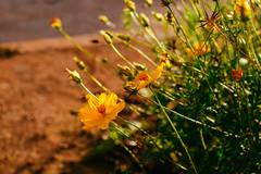 DSC_0486-3 (gypsynuvem) Tags: nature natureza flower flowers flor flores yellow green brasil brazil