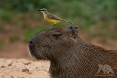 Capybara Portrait (fascinationwildlife) Tags: animal mammal wild wildlife nature natur bird cattle tyrant portrait cabybara pantanal brazil brasilien south america südamerika river forest banks