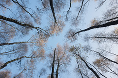 (koeb) Tags: emsland birken birch tree baum sky himmel tinner loh