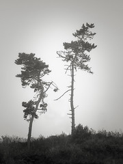 Two Trees in the Fog along Hwy 1 (StefanB) Tags: 1235mm 2018 california coast em5 fog geotag ocean outdoor tree treescape hwy1 usa
