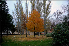 Autumn cherry tree. (anna punx) Tags: medinaderioseco valladolid otoño canal autumn river rio water spain landscape tree cherry cerezo arbol orange yellow green contrast sky blue clouds nubes naranja amarillo verde contraste park parque leaves hojas branches ramas cerezas