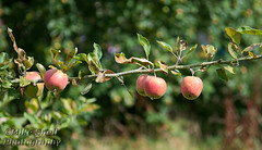 Snowshill Manor 2018 MS5_4859 (Mike Snell Photography) Tags: snowshillmanor apples fruit garden gardens snowshill broadway gloucestershire england manor countryhouse house home artefacts antiques collection collector charlespagetwade nationaltrust