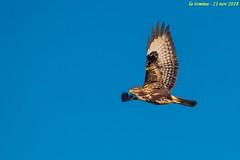 poiana (taronik) Tags: cielo cacciafotografica natura animali uccelli rapaci poiana