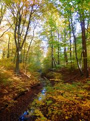 Forest creek (EvelienNL) Tags: tree trees autumn fall forest boom bomen bos herfst herfstkleuren herfstblad bladeren blad herfstbladeren leaves leafs creek stream water beek beekje kreek oudgroevenbeek dutch holland netherlands putten ermelo