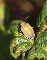 2018_10_0321 (petermit2) Tags: gorseshieldbug shieldbug stinkbug pottericcarr potteric doncaster southyorkshire yorkshire yorkshirewildlifetrust wildlifetrust ywt