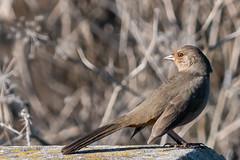 Resting Cowbird (MelRoseJ) Tags: sunnyvale california unitedstates us nature northerncalifornia bayarea birds a77ii alpha sonyalpha sony sonyilca77m2 sal70200g cowbird sanfranciscobaytrail