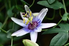 Passion Flower (Bri_J) Tags: chatsworthhousegardens bakewell derbyshire uk chatsworthhouse gardens chatsworth statelyhome nikon d7500 passionflower flower greenhouse passiflora tropicalflower