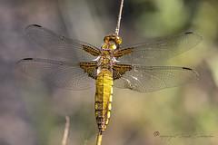 four-spotted chaser - viervlek (libellula quadrimaculata) (Ruud.) Tags: ruudschreuder nikon nikond850 d850 105mm macro makro insect insekt libellulaquadrimaculata korenbouten viervlek fourspottedchaser libel dragonfly libellulidae sympétrumcommun
