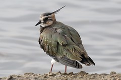 0M2A0523 Lapwing (kevin_livesey) Tags: wetlands wwt martinmere nature birdwatching bird wader plover green peewit lapwing