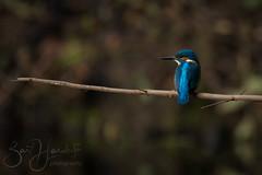 kingfisher 1 (Bart Hardorff) Tags: 2018 barthardorff biesbosch merwelanden thenetherlands november kingfisher ijsvogel alcedoatthis