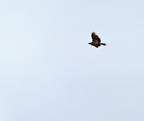 Jug Bay - Osprey