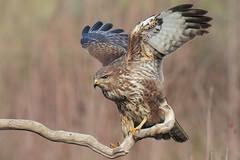 Poiana (Marcello Giardinazzo) Tags: poiana buteobuteo birds bird avifauna uccelli wild natura