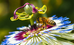 European Honey bee on a passion flower (AWLancaster) Tags: europeanhoneybee honeybee bee insect macro flower passionfruit passionflower unclose photowalk summer pollen pollination canonmacro canon animals insects
