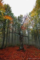 10.2018 01 Παγγαίο 20_10_2018__DSC3533 (Mavroudakis Fotis) Tags: forest dreamscape autumn woods trees vivid foliage lush nature rays outdoors path road trunk colorful yellow greece europe destination traveling hikking mountain leaves
