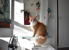 Jimmy in front of the bathroom mirror (rootcrop54) Tags: jimmy orange ginger tabby male cat selfportrait bathroom mirror neko macska kedi 猫 kočka kissa γάτα köttur kucing gatto 고양이 kaķis katė katt katze katzen kot кошка mačka gatos maček kitteh chat ネコ