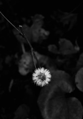 hope_2 (hipòlit_pascual) Tags: blackwhite blancoynegro byn nature plants sweet simple simplicity contrast fragility bw lovely