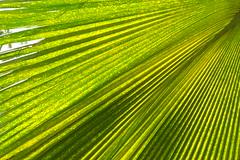 020/365: no filter (palm leaf green) (Michiko.Fujii) Tags: green bright brightgreen verde truegreen outinthegreen sunday sundaywalks bedok bedokreservoir arboreal theartoftrees mothernature inthegreen vibrant nature naturalbeauty patternsinnature lush folds closeup