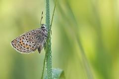 Bläuling (alfred.reinartz) Tags: butterfly schmetterling insekt insectn bläuling