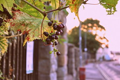 Brunello Di Bristol, 2018 Vintage (HiJinKs Media...) Tags: tree vine grapevine grapes fe rocks stone street bristol vintage light sun sky sunset life lines leaves rusty colours colors colori colores city innercitylife perspective vehicles road signs walls