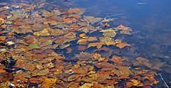 LEAVES 1 (KayLov) Tags: swannanoa scenery asheville grove park inn leaves foliage