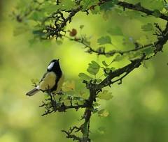 N02A3994 (2)bis (tineandthecats@gmail.com) Tags: oiseaux birds méditation poésie arbre