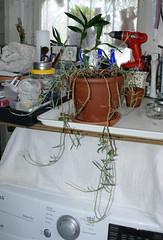 Senecio radicans, new to the collection, pot & plant found on the street  1-19* (nolehace) Tags: senecio radicans new doc 119 flower winter nolehace fz1000 sanfrancisco