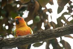 Conure soleil (nicotr) Tags: 20190126 conure oiseaux serretropicale zoo