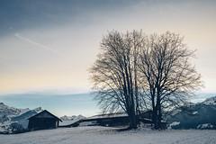 Two Trees (Bephep2010) Tags: 2018 7markiii aeschi aeschibeispiez aeschiried alpen alpha berg berneroberland berneseoberland bäume herbst ilce7m3 landschaft sel1635z schnee schweiz sony stall switzerland wald alps autumn barn fall forest landscape mountain snow trees ⍺7iii kantonbern ch