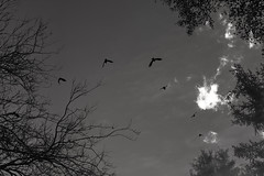 Half cycle (Fabrice Gillet) Tags: trees birds doubleexposure bw nb anomaly conceptual surreal