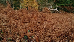 20171101_162707 [ps] - Earth Tones (Anyhoo) Tags: anyhoo photobyanyhoo england uk hydonsball hambledon surrey bracken birch brown orange yellow dead winter autumn heath