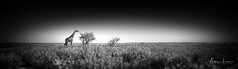 Plains In Long Garb (Alec Lux) Tags: bw bnw etosha adventure africa animal art black blackandwhite dry empty fine fineart giraffe grass landscape mammals namibia nature outdoor pano panorama parc plains reserve safari savannah scenic sky steppe travel traveling trees white wild wildlife