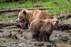 Grizzly Bear Mom and Cub (Anne McKinnell) Tags: ursusarctoshorribilis animal bear britishcolumbia brownbear cub grizzlybear khutzemateen khutzeymateen provincialpark wildlife