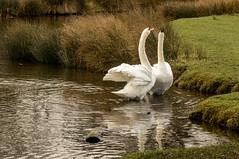 Bushy Park Jan 2019_011 (Anthony Britton) Tags: canon5dmk4 canonesom5 18150mlens 1122mlens 24105lens bushypark hampton swans heron ringparakeet sheppertonlock wier thamesriver river parks
