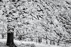 Dreaming of Summer... (Ody on the mount) Tags: anlässe blätter bäume em5 gegenlicht herbst landschaft licht mzuiko6028 omd olympus pflanzen schwäbischealb wanderung zweige bw highkey monochrome sw tree äste mössingen badenwürttemberg deutschland de