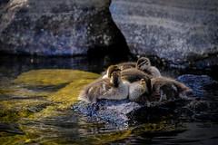 Young ones (Klas-Herman Lundgren) Tags: gagnef gimmen midsummer sverige sweden dalarna insjö lake midsommar sjö sommar summer water änder birds young small uppsala