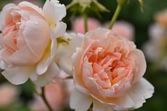 Rose 'Ambridge Rose' raised in UK (naruo0720) Tags: rose englishrose ambridgerose bredbydavidaustin englishrosescollection バラ イギリスのバラ アンブリッジローズ オースティンのバラ イギリスのバラコレクション nikonscamera sigmalenses d810 sigma105mmf28exdgoshsm