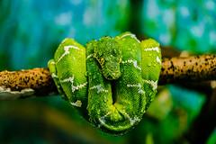 Toronto Zoo (Katherine Ridgley) Tags: toronto torontozoo zoo animal animalia coralluscaninus emeraldtreeboa boa corallus boidae serpentes squamata reptile reptilia green macro detail snake serpent