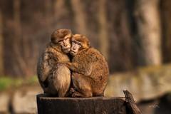 All you need is love (THW-Berlin) Tags: primaten animals tiere säugetiere mammals berberaffe sony alpha6500 sigma 135mm
