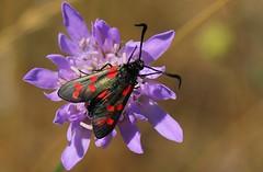 Six-spot Burnet - Zygaena filipendulae - Durlston CP Dorset (1) (Ann Collier Wildlife & General Photographer) Tags: sixspotburnet zygaenafilipendulae durlstoncpdorset dorset dorsetwildlife durlstoncountrypark butterflies butterfliesmothsandcaterpillars