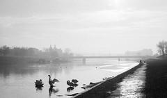 2018-12_Swans on Wisła river in Kraków (jarek.matla) Tags: fm3a hp5 ilford