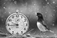 Less than 48 hours until Christmas! (dshoning) Tags: clock bird snow bw junco time christmas winter