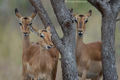 Jingle bells, jingle bells....... (leendert3) Tags: leonmolenaar southafrica krugernationalpark wildlife nature mammals impalaantelope ngc npc
